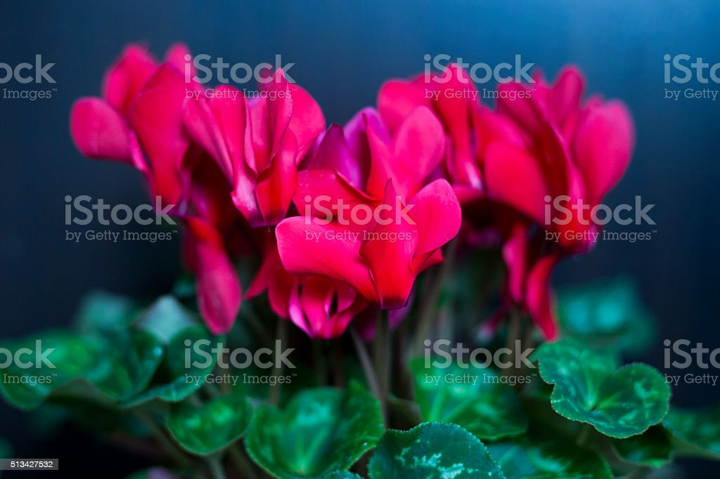 Red cyclamen in a flower pot isolated stock photo
