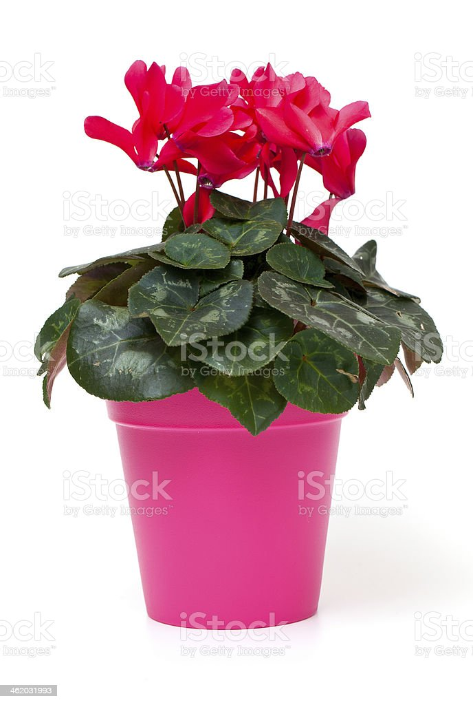 red cyclamen isolated on white background stock photo