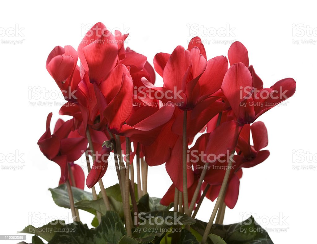 Red cyclamen on white background stock photo