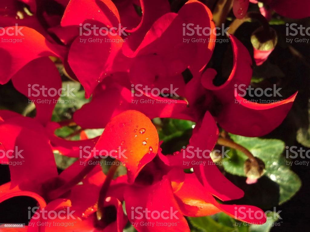 Red Cyclamen Petals stock photo
