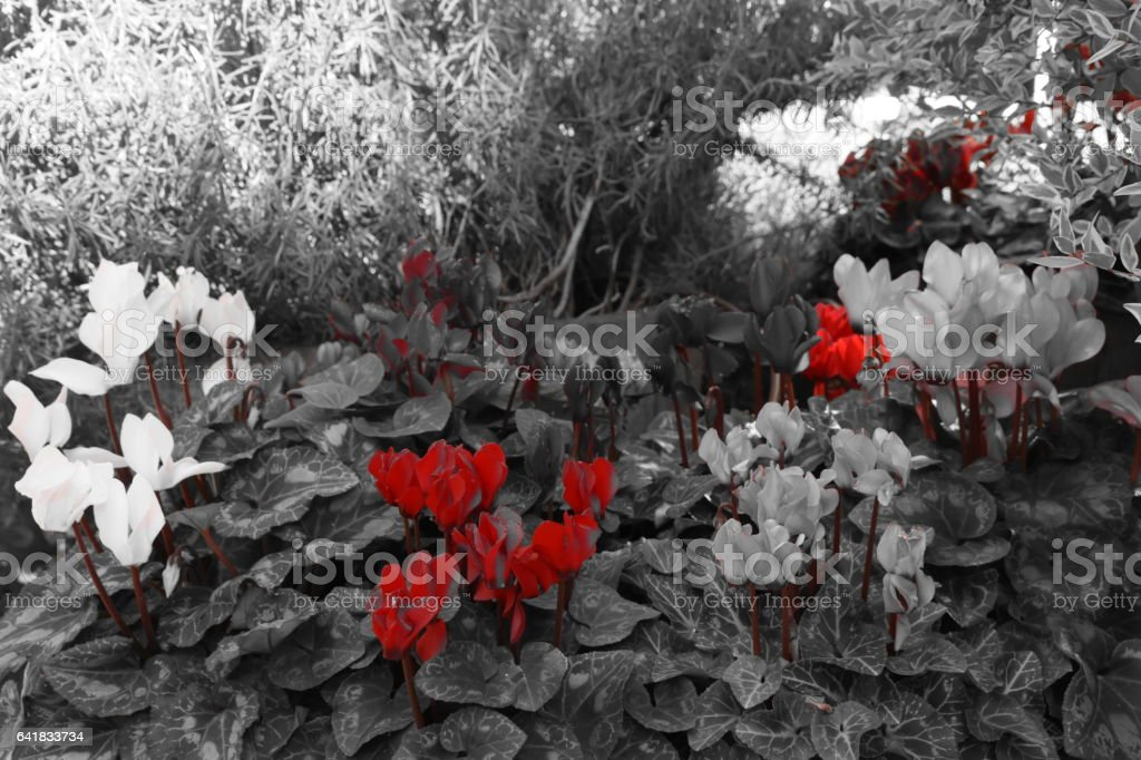 Red cyclamen stock photo