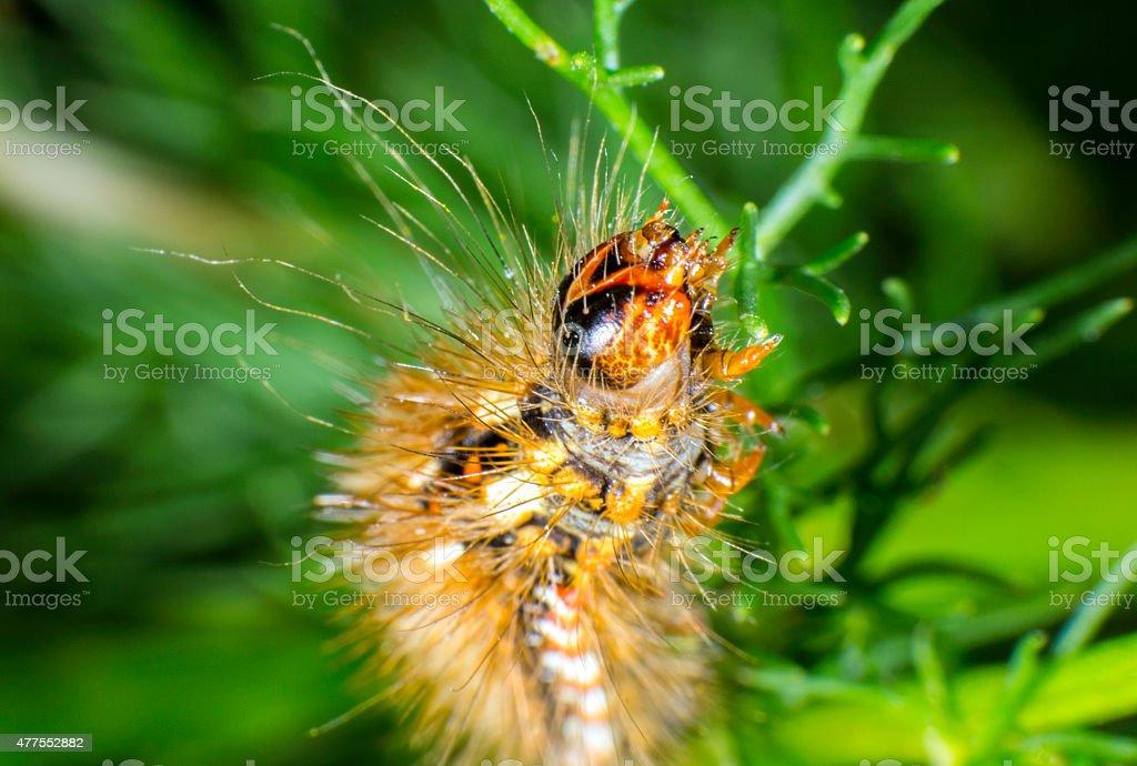 Red dagger moth caterpillar stock photo