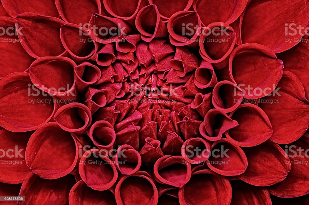 Red Dahlia flower closeup stock photo