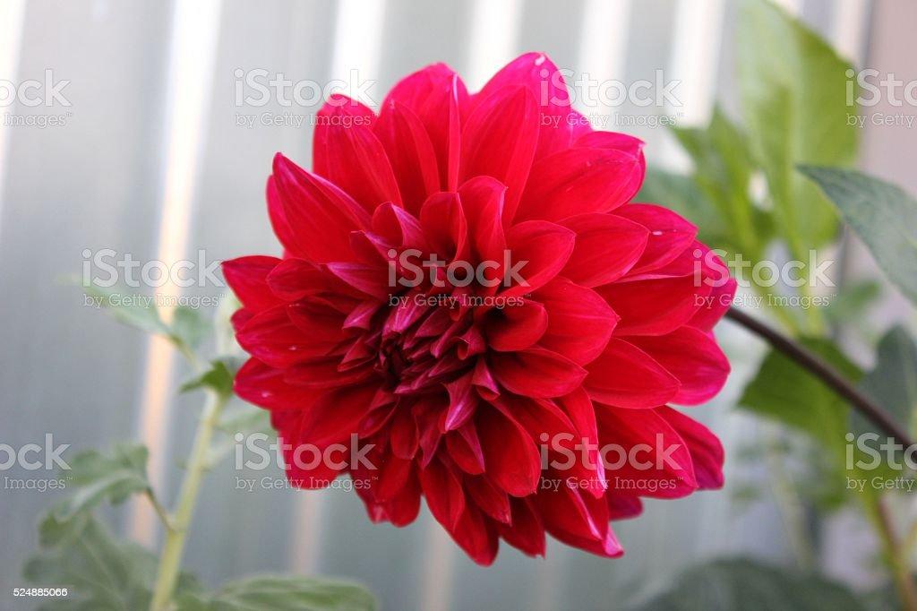 Red Dahlia flower in the garden. stock photo