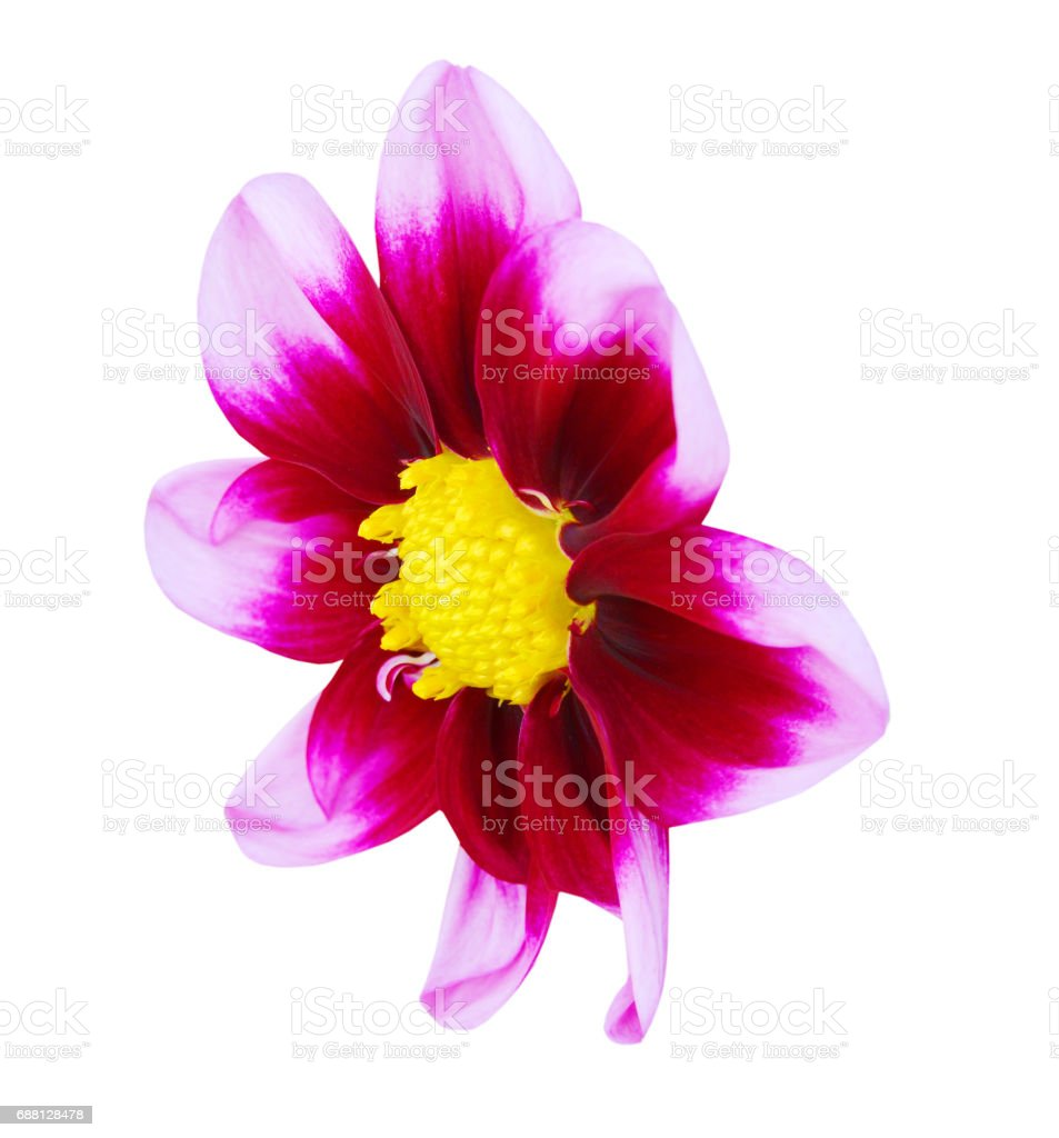 red dahlia flowers in autumn stock photo