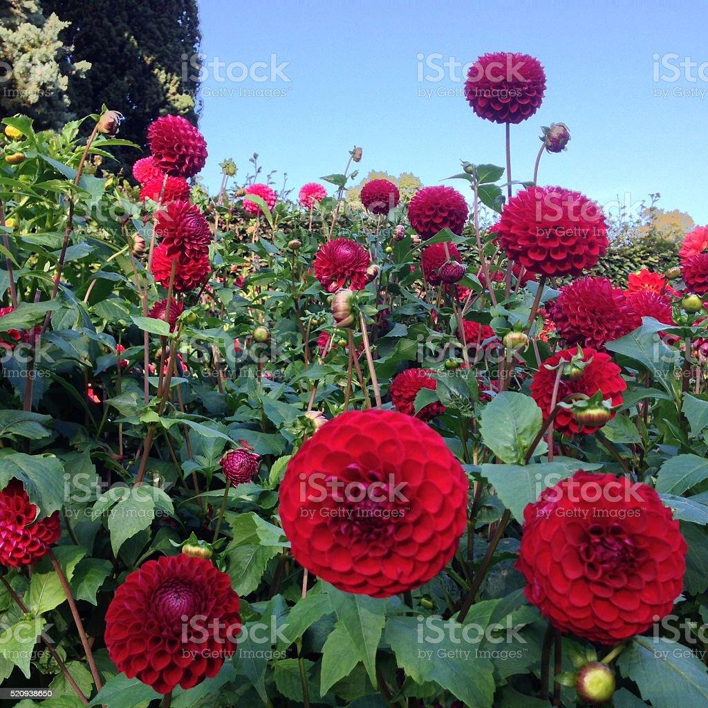 Red Dahlia Flowers stock photo