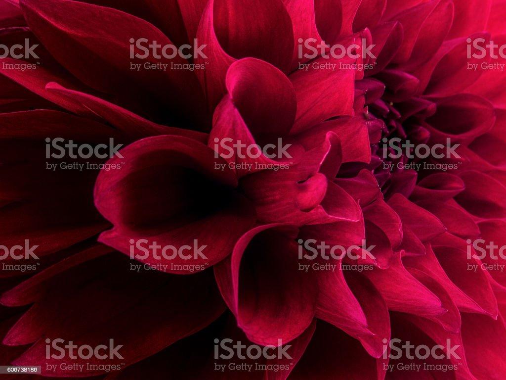 Red dahlia stock photo