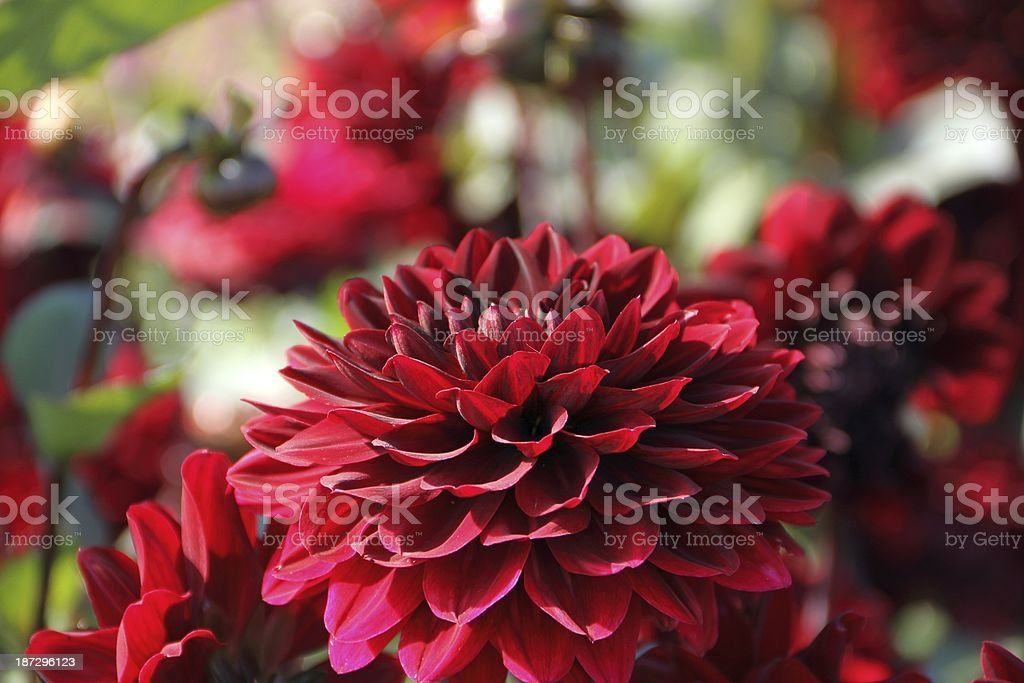 Red dahlias stock photo