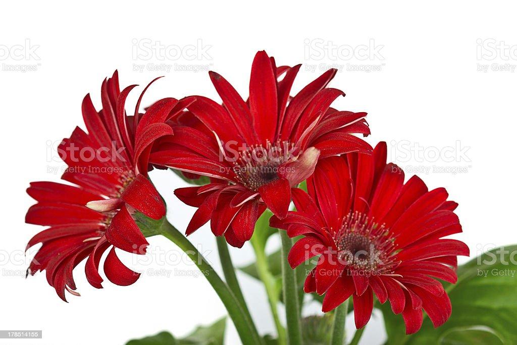 Red daisy flower - gerbera royalty-free stock photo