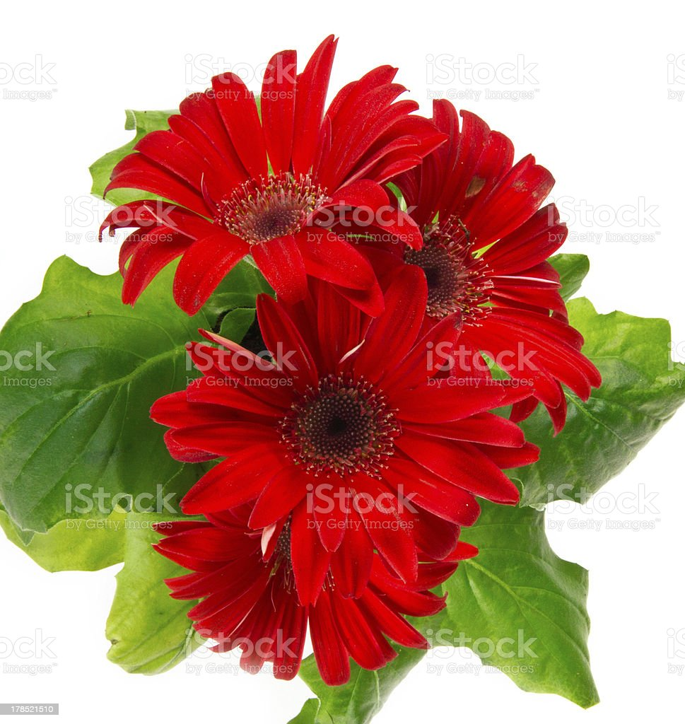 Red daisy flower - gerbera royalty-free stock photo
