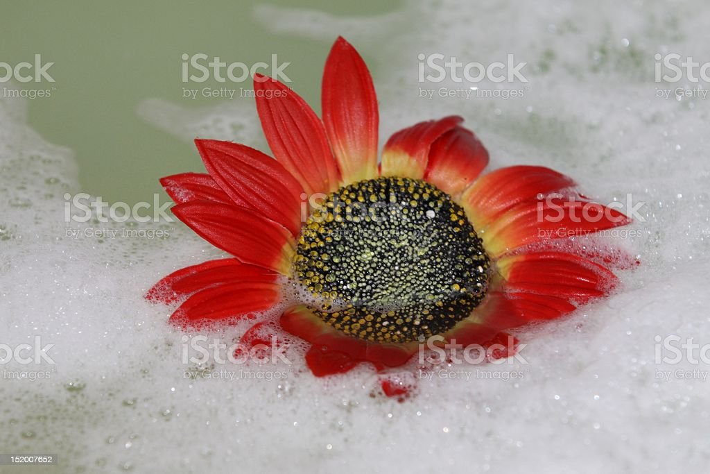 Red daisy in the tub with foam stock photo