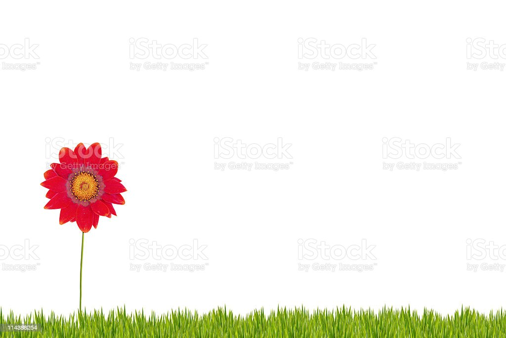 Red daisy on grass XXXL royalty-free stock photo