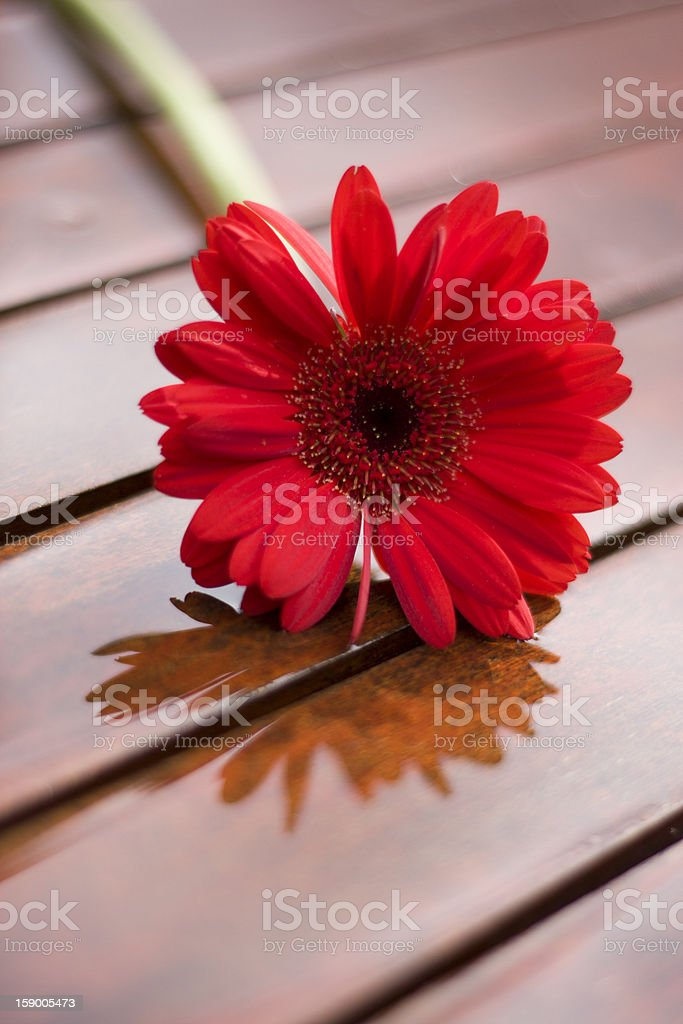 Red daisy reflecting in water on table royalty-free stock photo