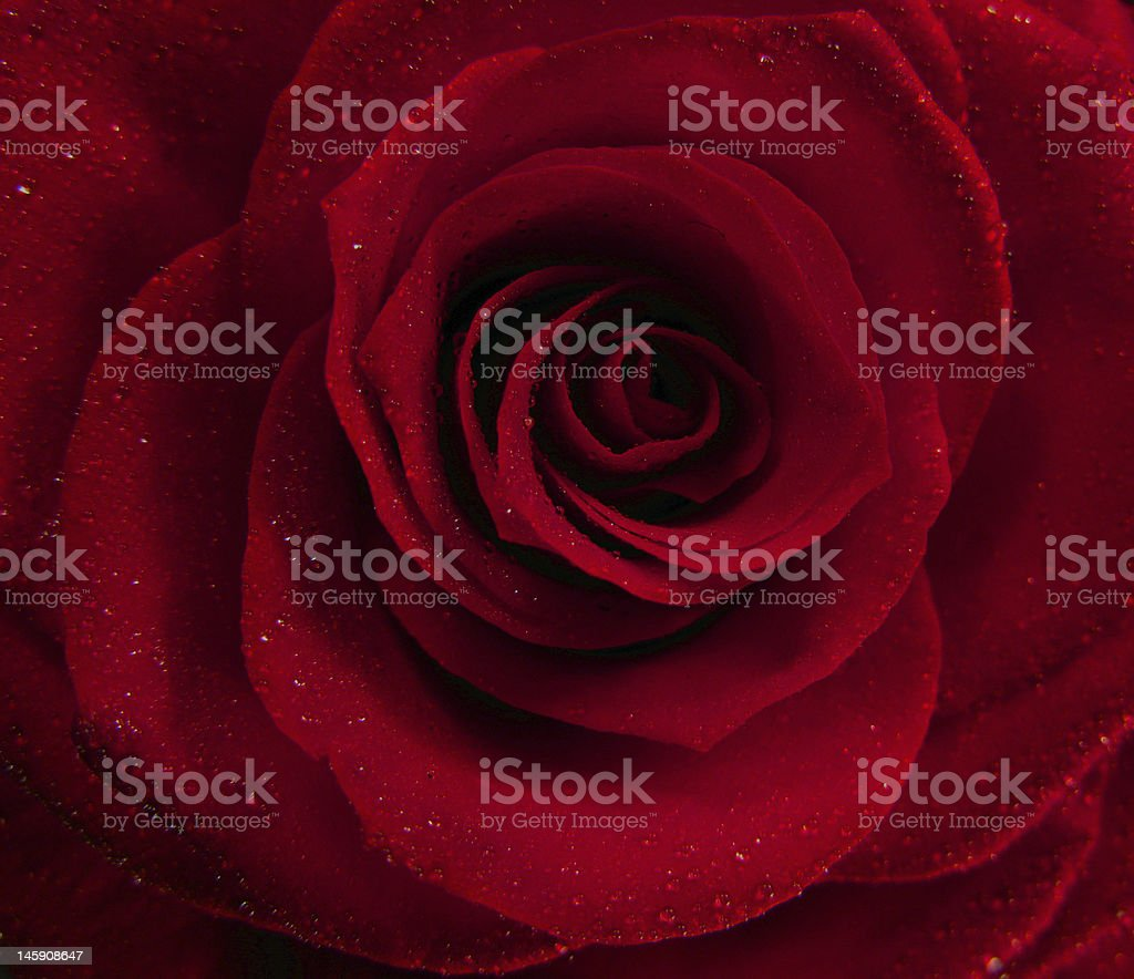 Red dark rose with water droplets royalty-free stock photo