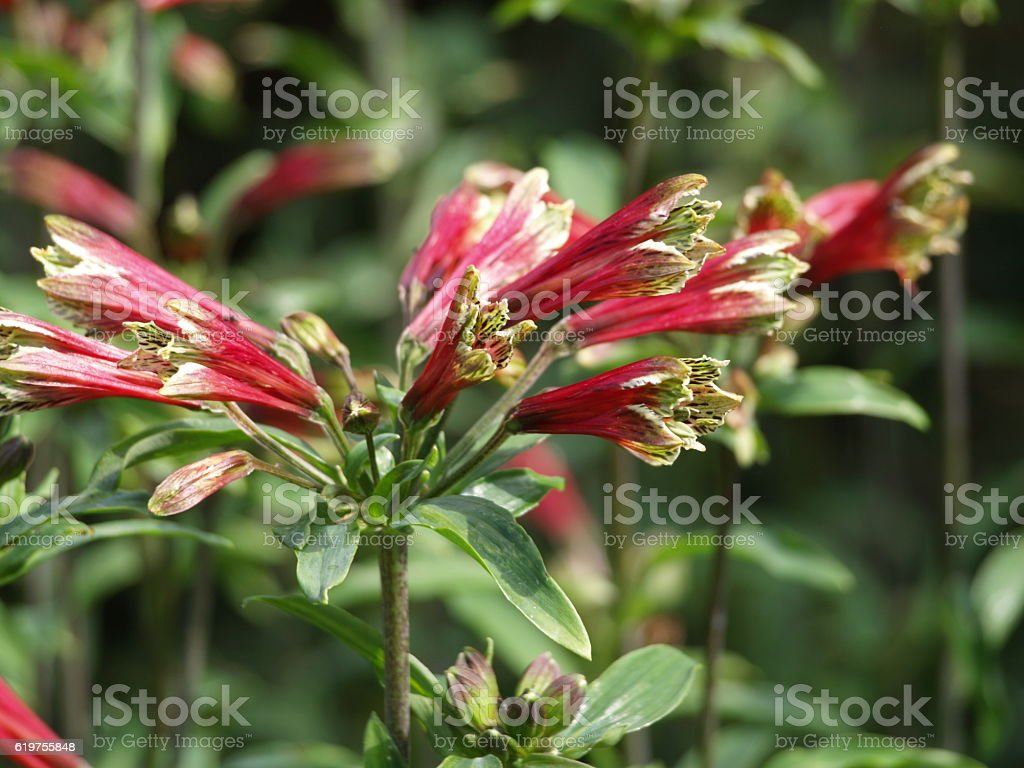 Red day lilies stock photo