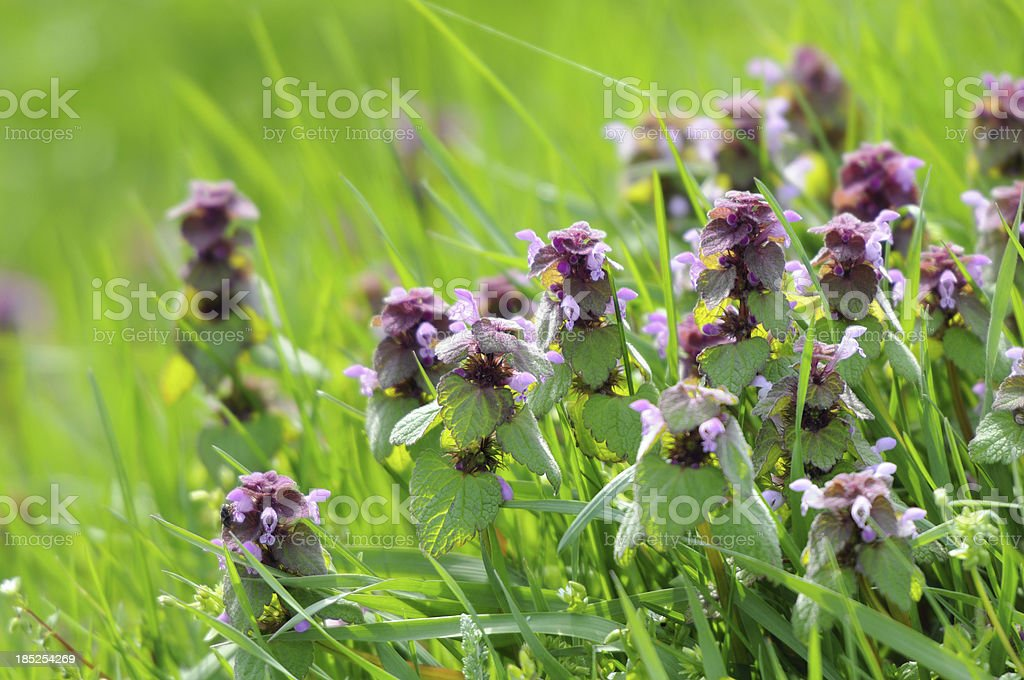 Red Deadnettle (Lamium purpureum) stock photo
