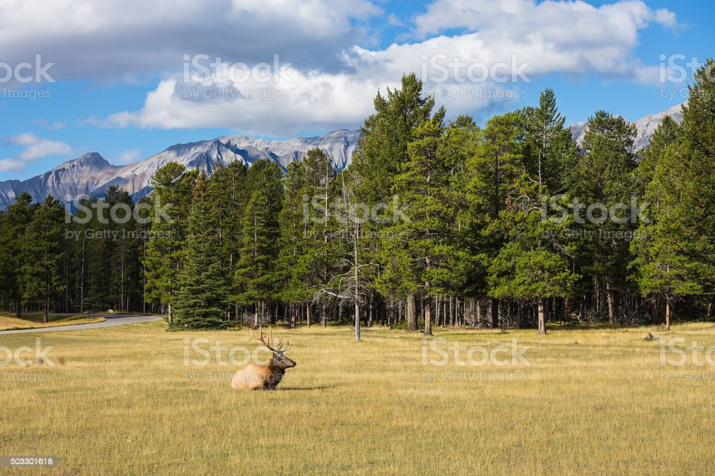 Red deer antlered lying in the grass stock photo