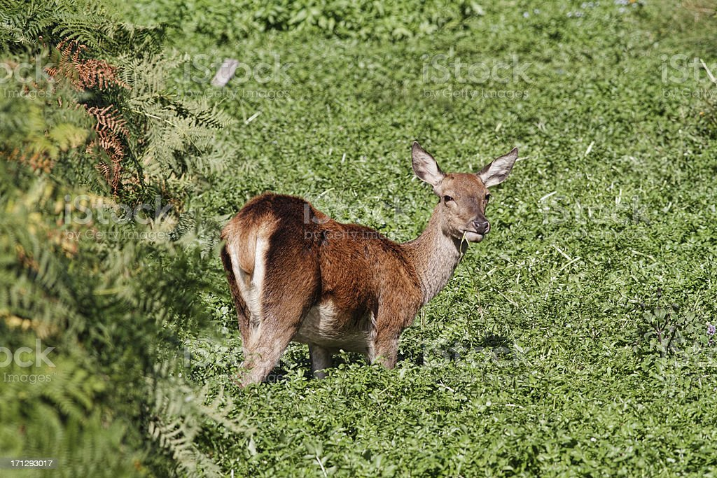Female red deer hind eating water weeds stock photo
