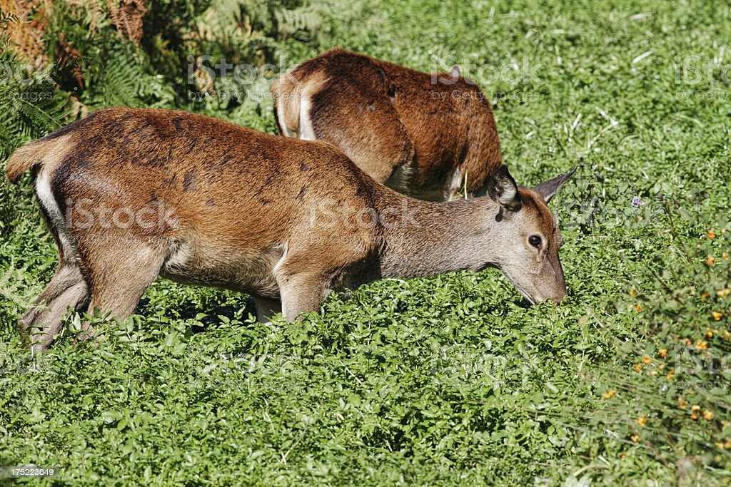 Female red deer hinds eating water weeds stock photo