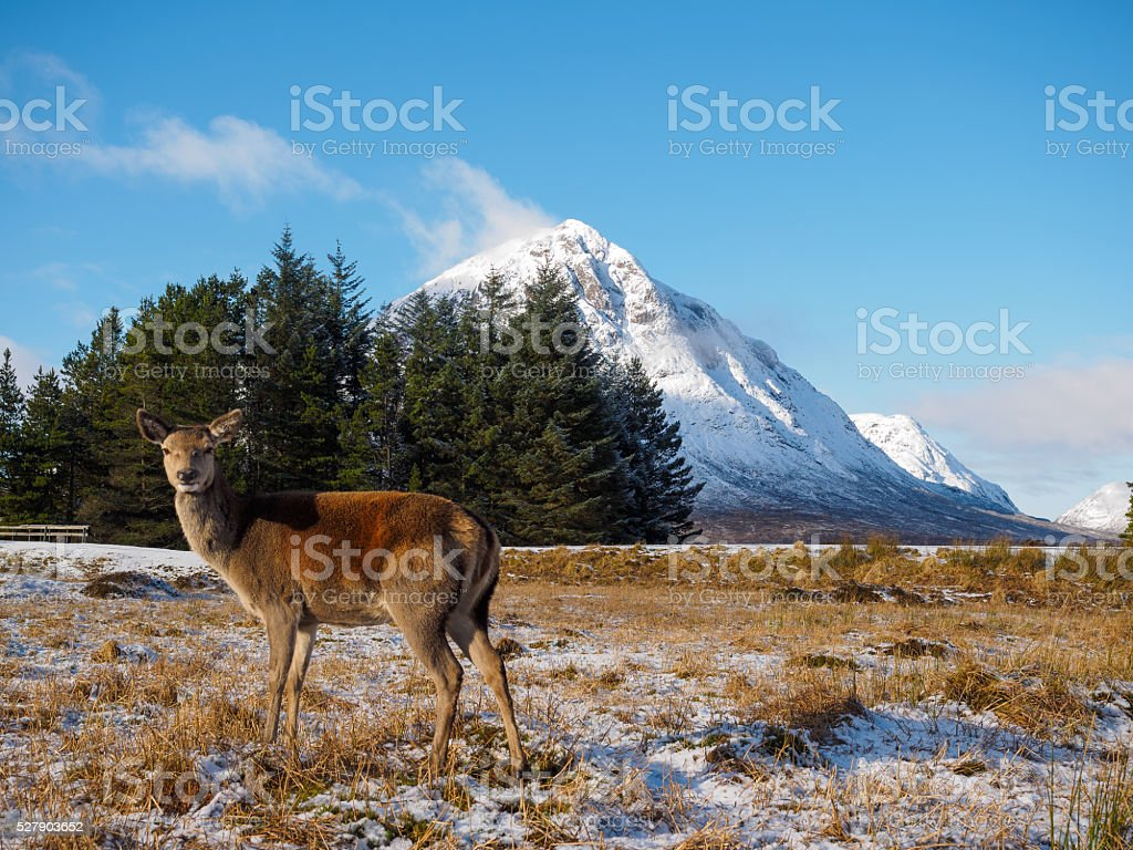 Red deer at Glencoe. stock photo