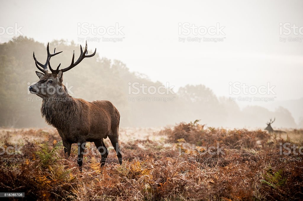 Red deer at Richmond Park stock photo