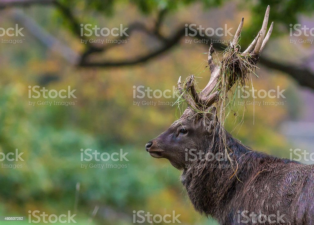 Red Deer & Autumn Background stock photo