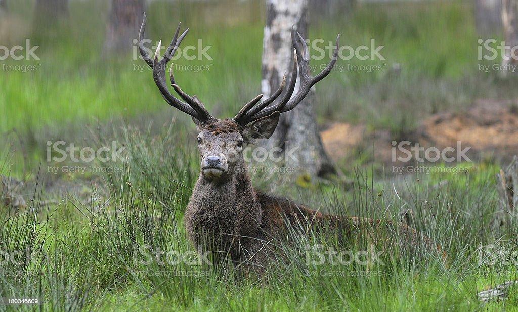 Red deer. Autumn. Roar. royalty-free stock photo