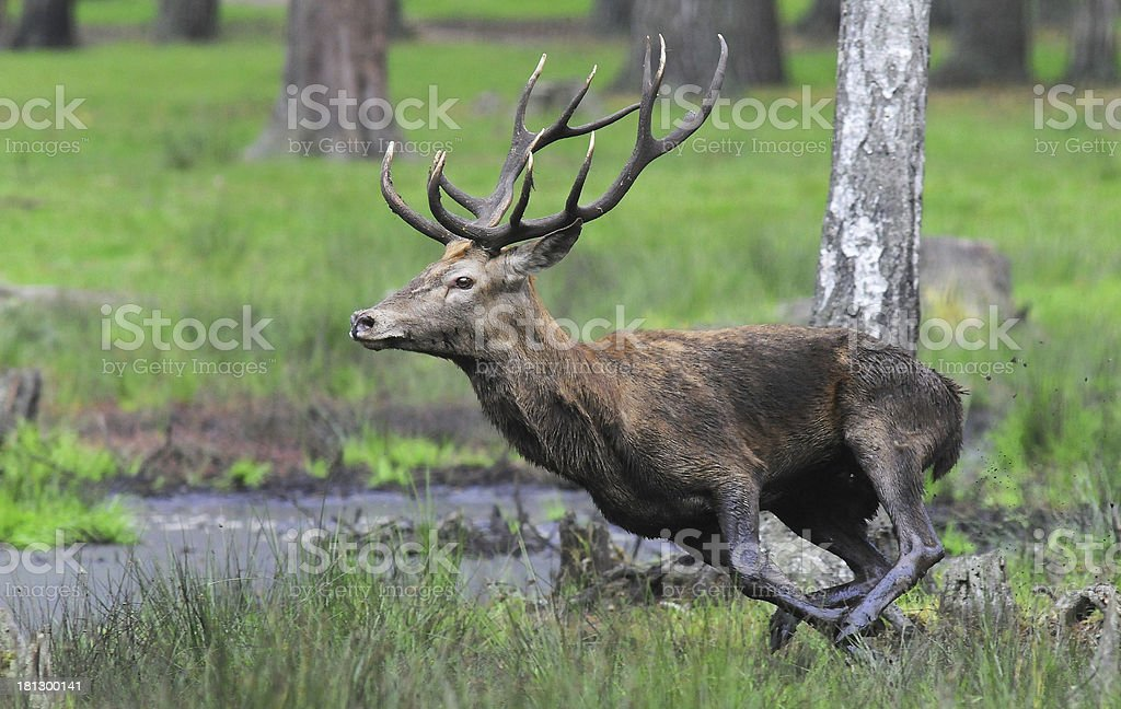 Red deer. Autumn. Roar. Running. stock photo
