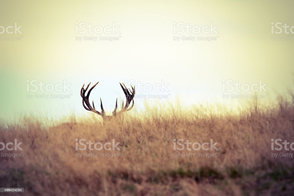 red deer buck hiding stock photo