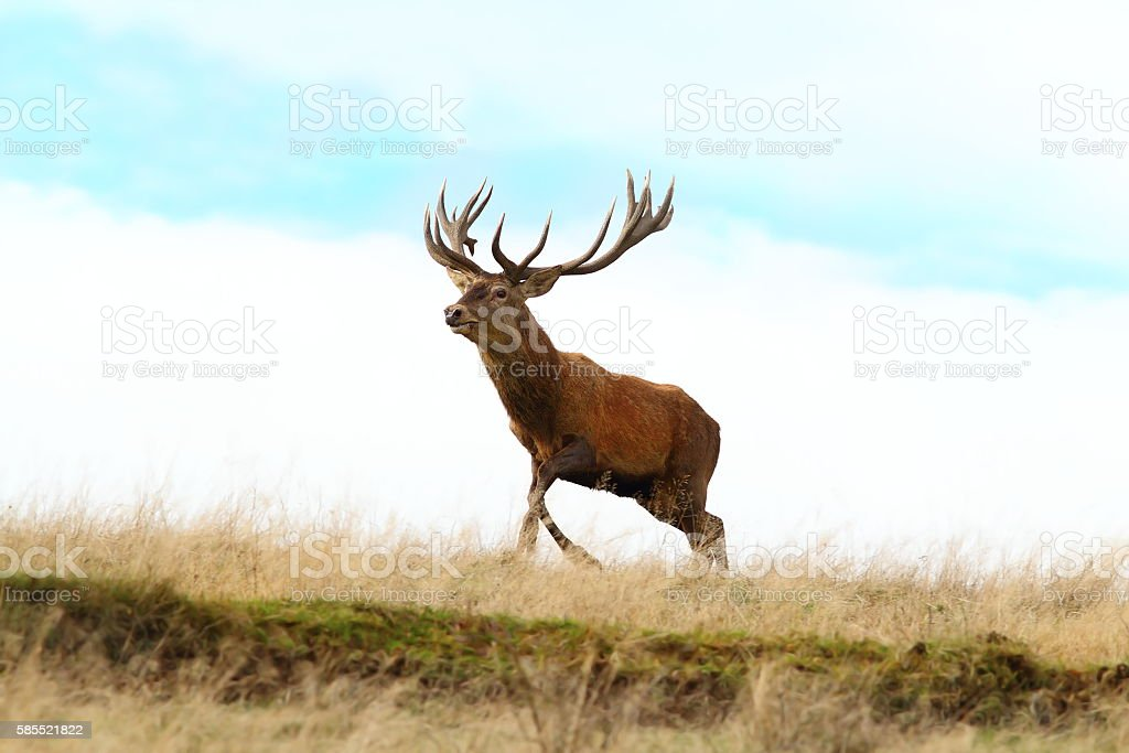 red deer buck running on top of a hill stock photo