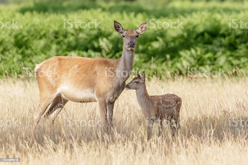 Red Deer (Cervus elaphus) calf with mother stock photo