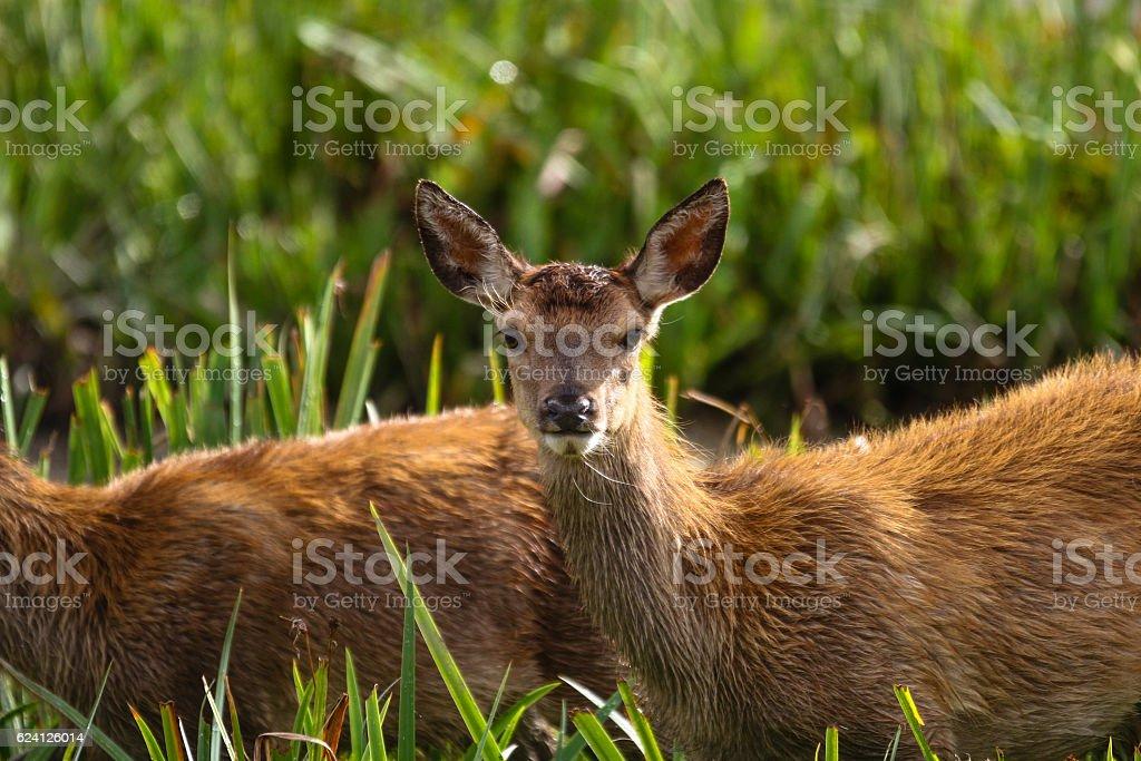 Red Deer, Cervus elaphus stock photo