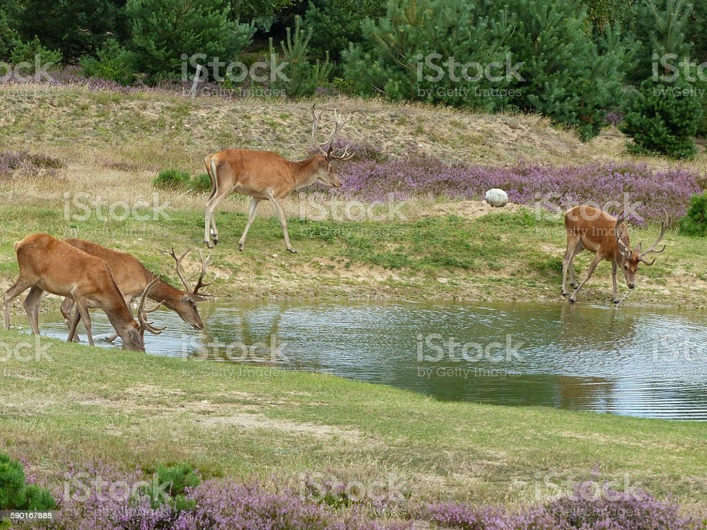 Red deer drinking from pond stock photo