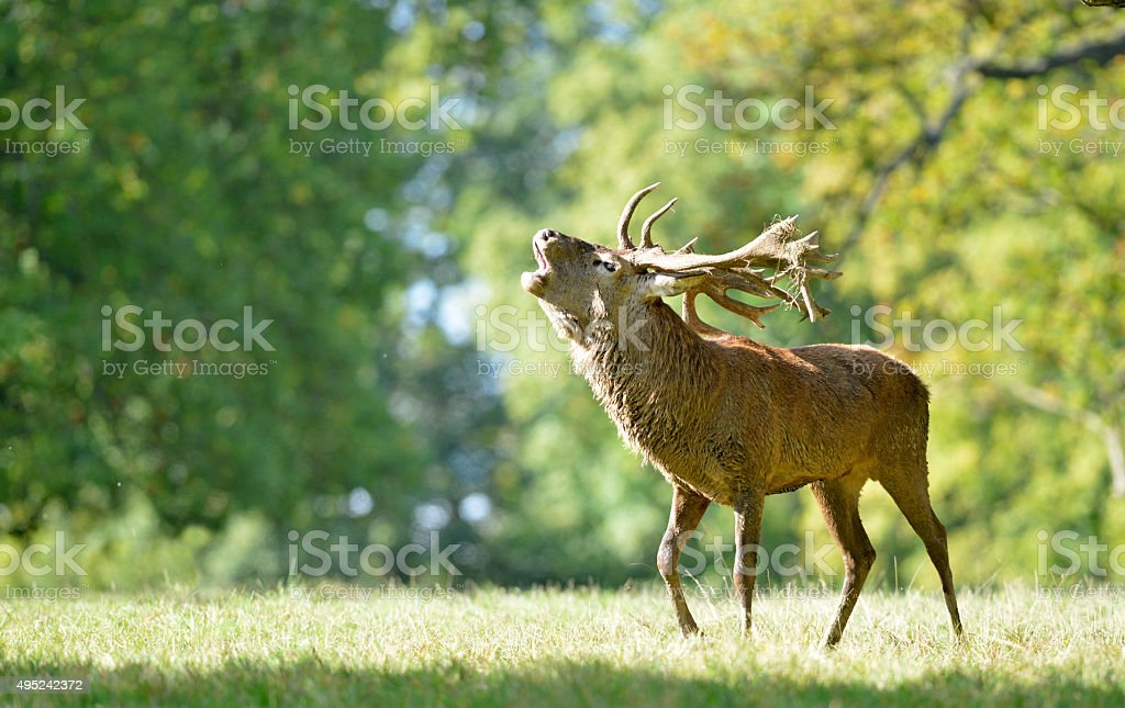 Red Deer during the Rut. stock photo
