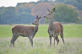Red Deer Family - Hind And Baby