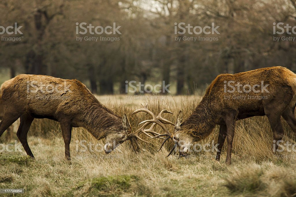 Red deer fighting stock photo