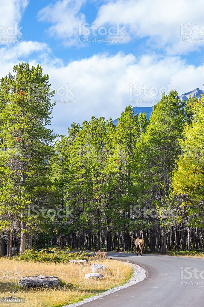 Red deer goes into the woods on the road stock photo
