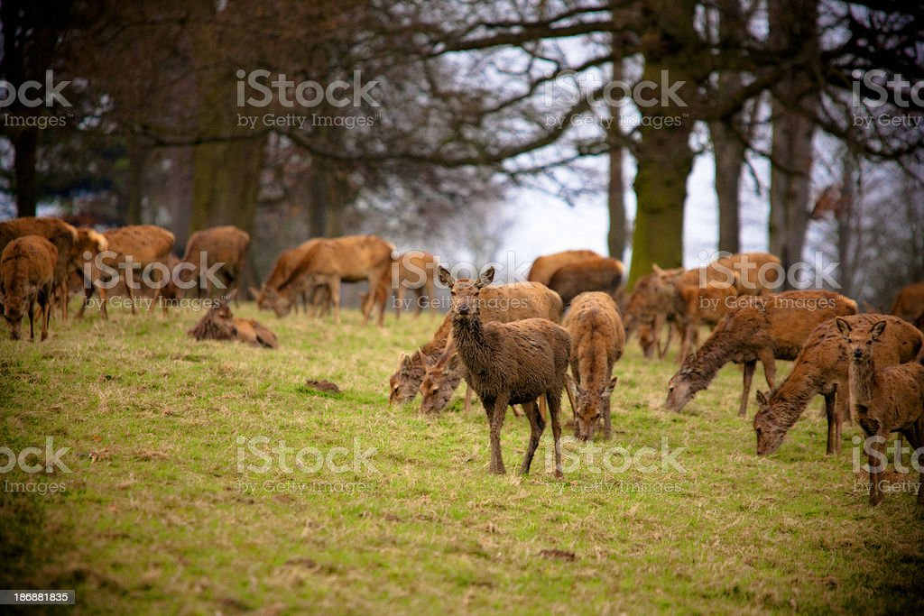 Red Deer Grazing royalty-free stock photo