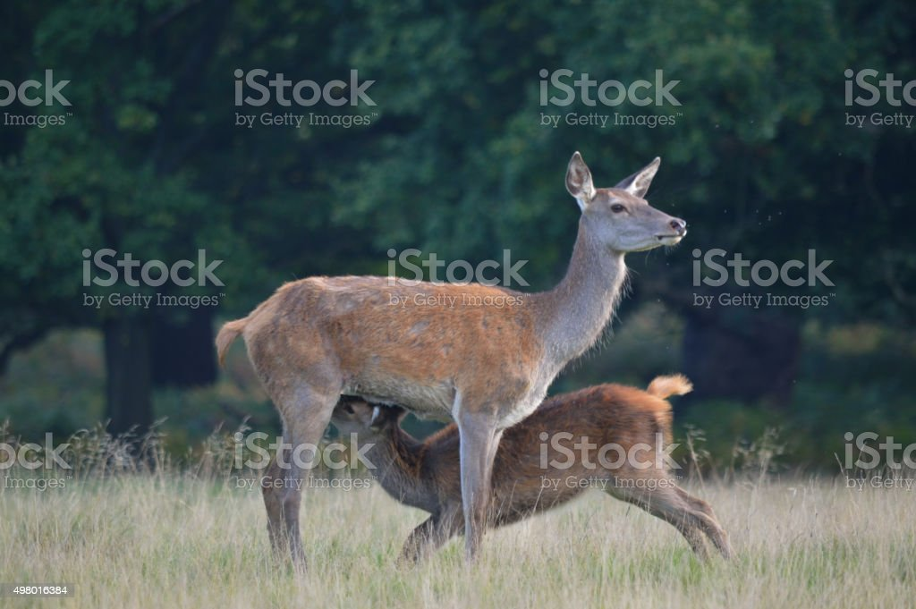 Red Deer Hind And Fawn stock photo