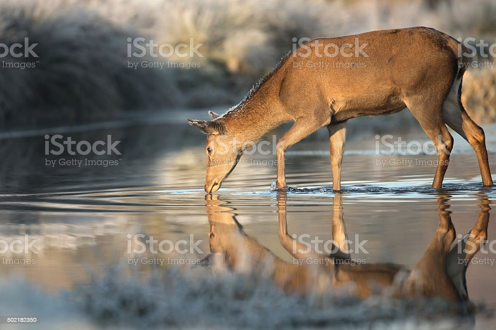 Red deer hind in a stream of water stock photo