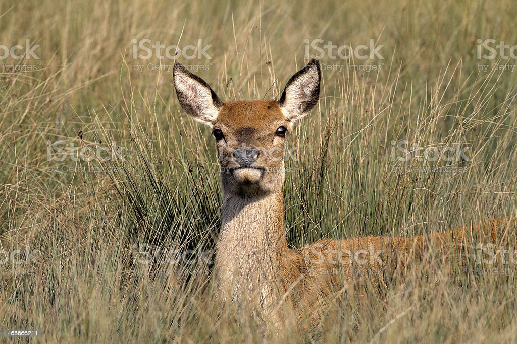 Red deer hind female pricks up ears in long grass stock photo