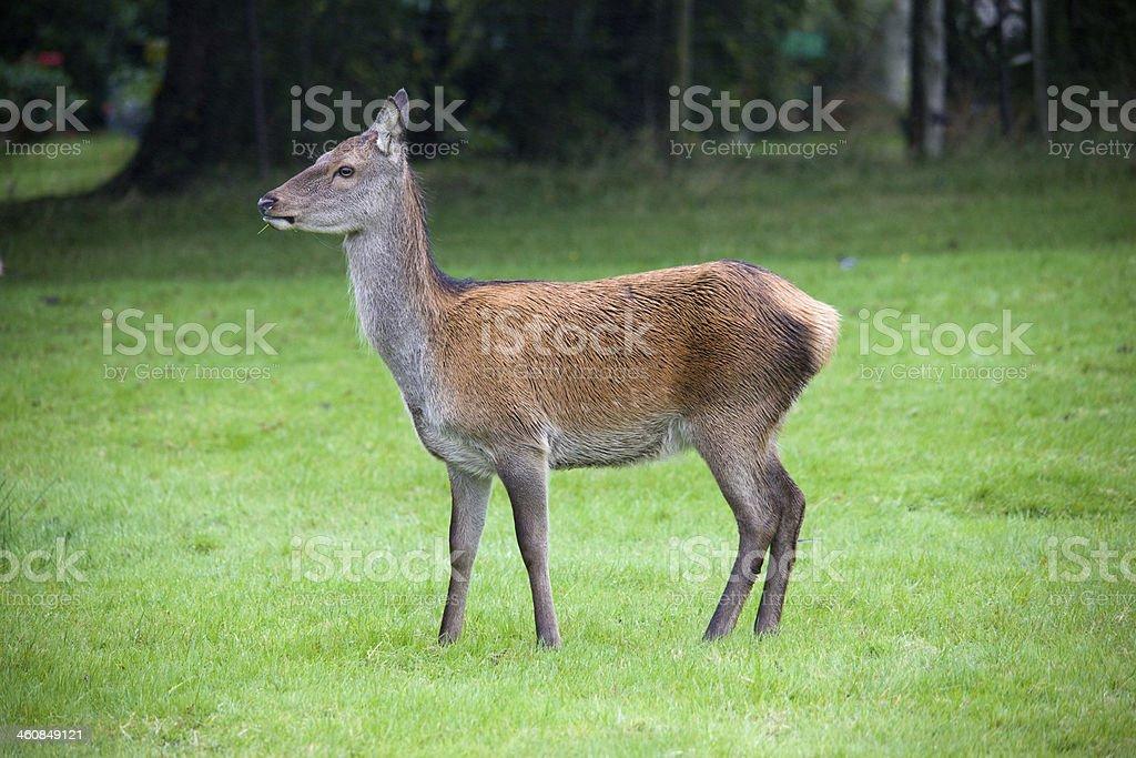 Red Deer Hind stock photo