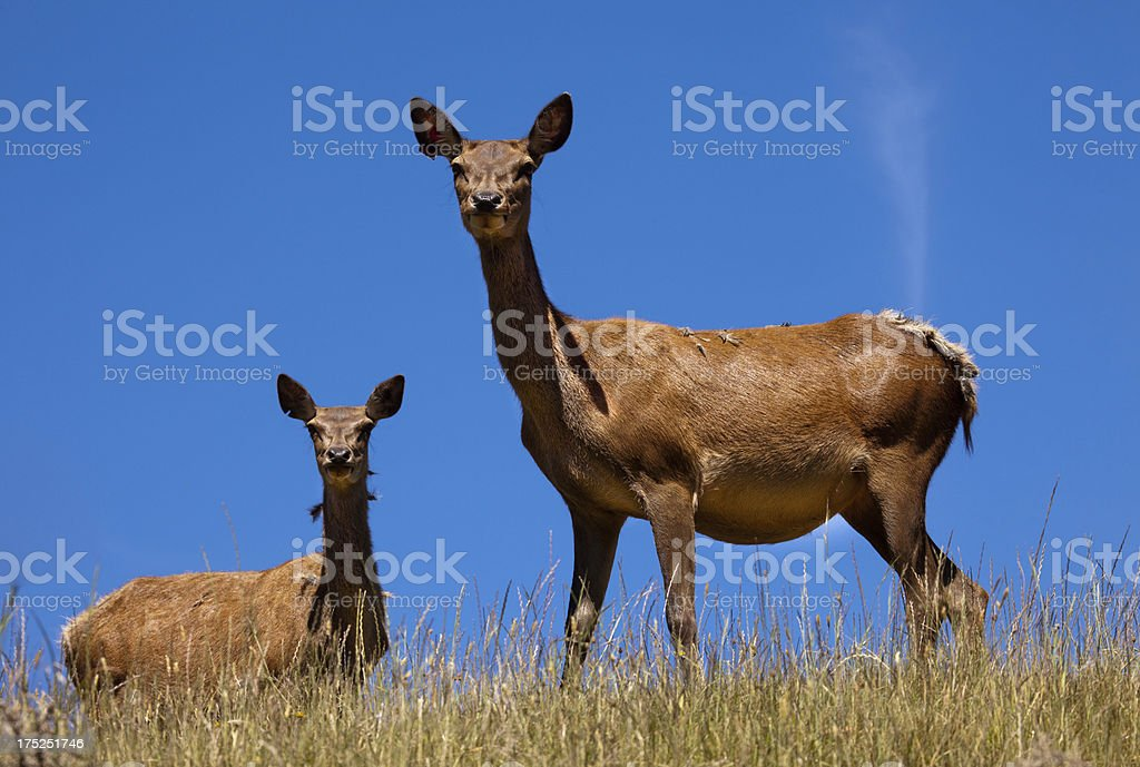Red Deer hinds, farmed in Nelson,New Zealand stock photo