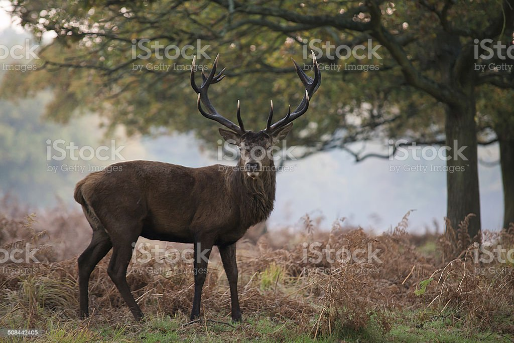 Red deer in a frosty morning stock photo