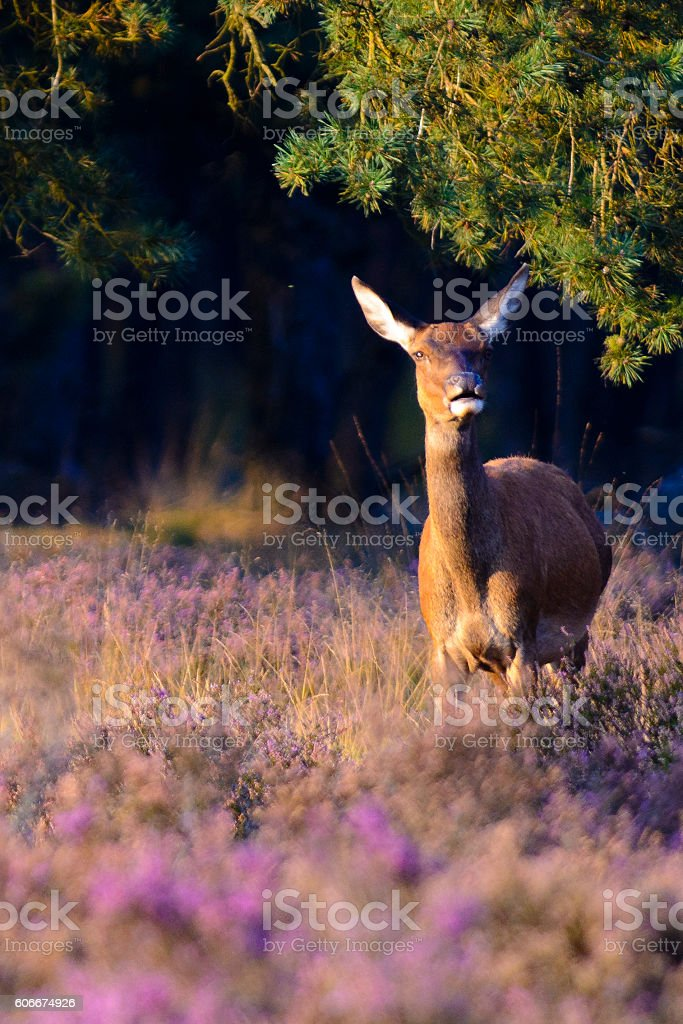 Red Deer in a Heather field stock photo
