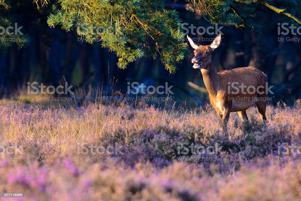 Red Deer in a sunset stock photo