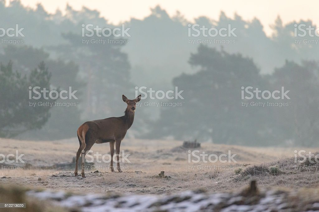 Red Deer in a wintry landscape in the early morning stock photo