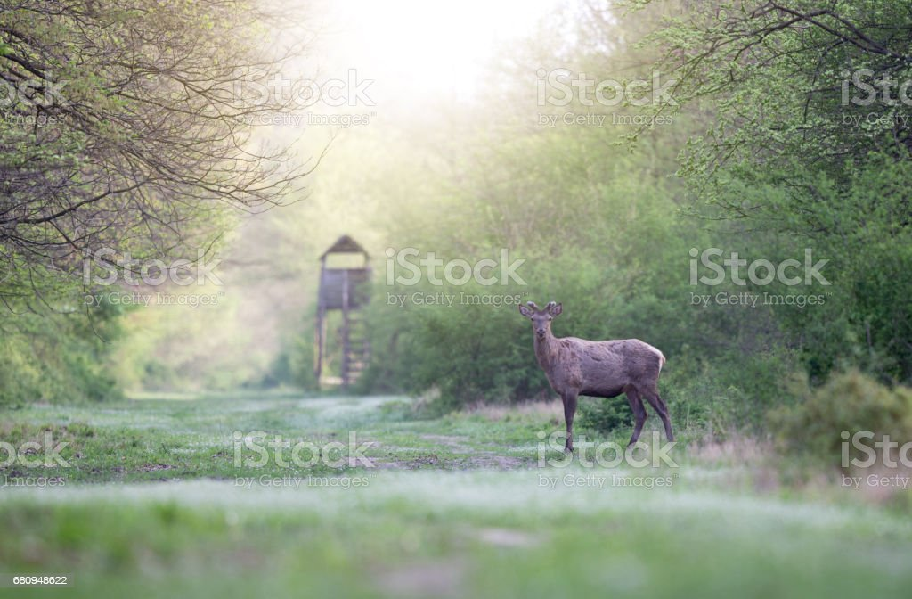 Red deer in forest stock photo