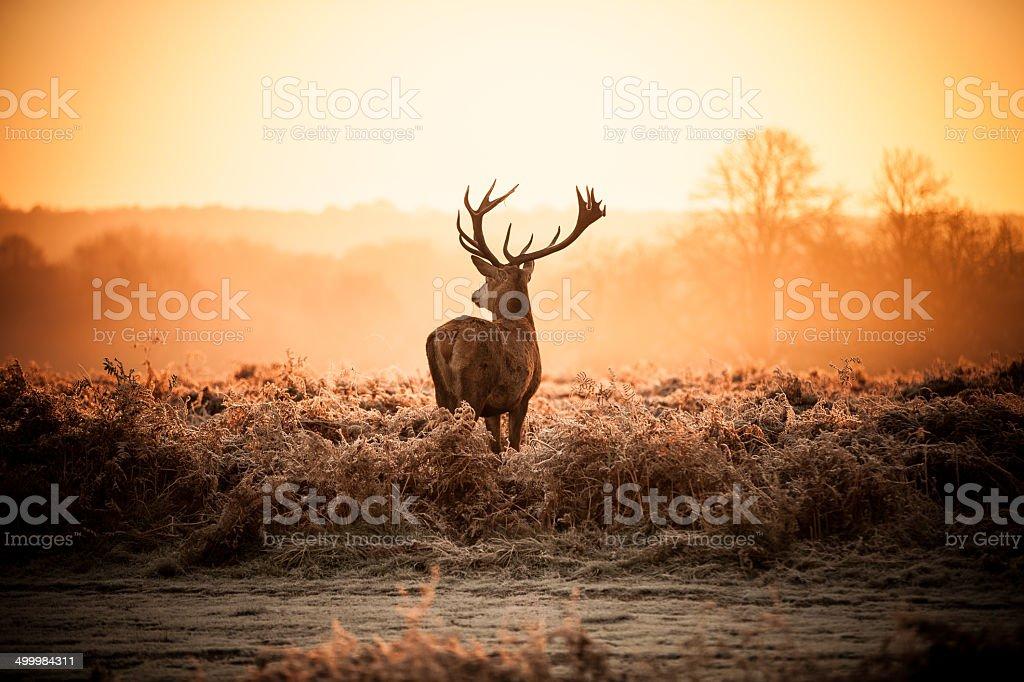 Red Deer in Morning Sun. stock photo