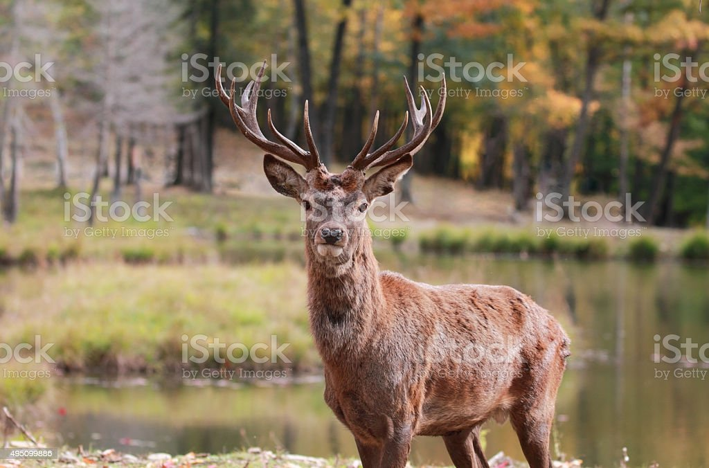 red deer in nature stock photo